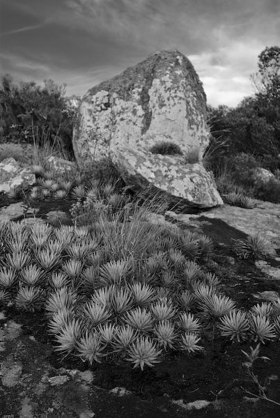 Bromélias no alto da trilha da Fortaleza no parque de Itapuã, foto de Zé Paiva.