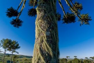 "Araucaria ""Araucaria angustifolia"", Coxilha Rica, Lages, Santa Catarina"