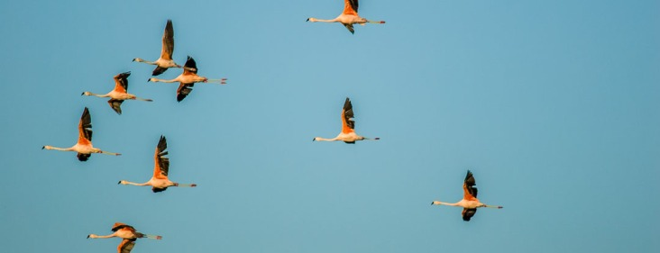 "Revoada de flamingos ""Phoenicopterus rube"" - Mostardas, Rio Grande do Sul."