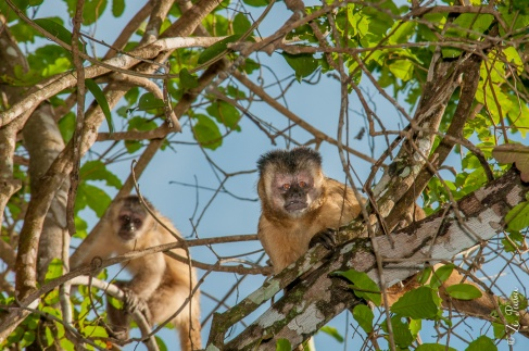 Macaco-prego, Parque Estadual do Cantão