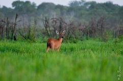 Cervo-do-Pantanal, Ilha do Bananal, Parque Nacional do Araguaia.