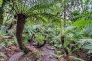 Floresta de xaxins junto a Cascata Véu de Noiva