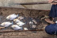 Piranhas pescadas no rio Cuiabá
