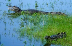 Jacaré-do-pantanal, foto de Poliana Bellato
