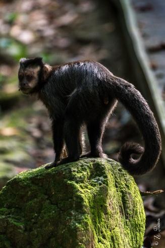 Macaco-prego em trilha do Jardim Botânico