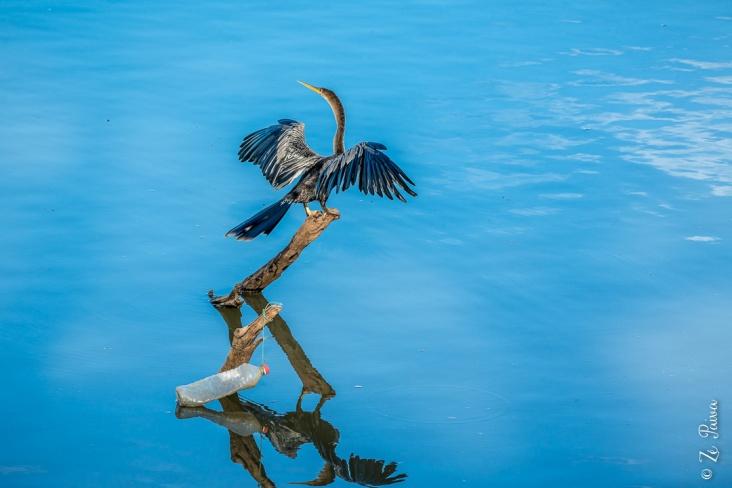 Biguatinga no Rio Javaés, Lagoa da Confusão, Tocantins - foto de Zé Paiva