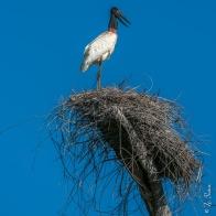 Ninho de tuiuiú no Rio Araguaia, Caseara, Tocantins - foto de Zé Paiva