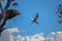 Ninho de Tuiuiú - foto de Maristela Sisson