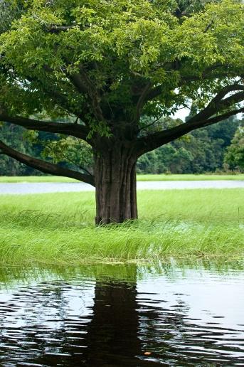 Árvore alagada e capim no Arquipélago de Anavilhanas. Foto de Du Zuppani