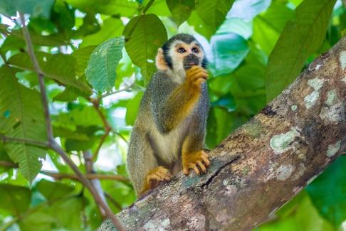 Macaco-de-cheiro. Foto de Ze Paiva - Vista Imagens