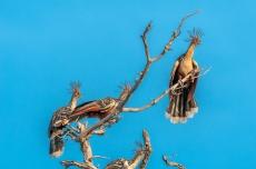 Bando de ciganas (Opisthocomus hoazin). Foto de Ze Paiva, Vista Imagens.