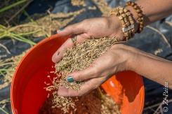 Colheita de arroz orgânico no assentamento Filhos de Sepé, Viamão, Rio Grande do Sul.